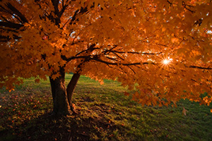 The sun streams through a beautiful orange maple tree turns on a warm autumn evening. - Iowa Photograph
