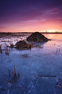 On a chilly morning I photographed several beaver huts nestled throughout Nathan's Lake at Boyer Chute National Wildlife Refuge. - Nebraska Photograph