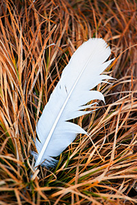 A single feather lies in prairie grass on a chilly winter day. - Nebraska Photograph
