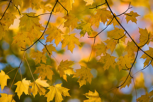 From a branch of autumn leaves, a patten of fall leaves display their warm, inviting colors. - Nebraska Photograph