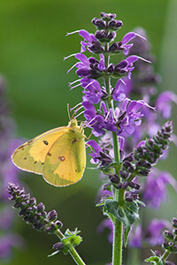 A moth lands on a lavender flower at Schramm State Recreation Area. - Nebraska Photograph