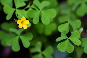 A single chartreuse yellow flower blooms among the clover. - Nebraska Photograph