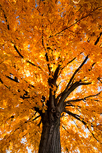 A photograph of a maple tree backlit by sunlight in the OPPD Arboretum in Omaha, Nebraska. - Nebraska Photograph