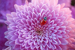 A ladybug rests for a moment on a pink mum on a warm autumn day in eastern Nebraska. - Nebraska Photograph