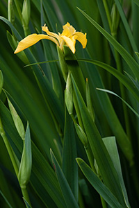 A sunny yellow iris begins to bloom by the ponds at Schramm State Recreation Area, Nebraska. - Nebraska Photograph