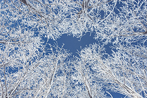 Hoarfrost clings to a stand of cottonwoods contrasting with the blue sky at Chalco Hills Recreation Area on a cold February morning. - Nebraska Photograph