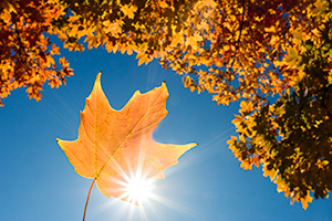 A photograph of a maple leaf backlit by sunlight under a maple tree in the OPPD Arboretum in Omaha, Nebraska. - Nebraska Photograph