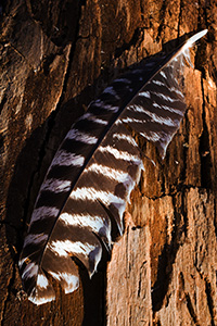 A lone Wild Turkey feather rests quietly on a log, briefly, before the breeze blows it along to its next destination. - Nebraska Photograph