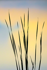 A landscape photograph a silhouette of reeds reflecting the colors of the setting sun on Shadow Lake, Nebraska - Nebraska Photograph