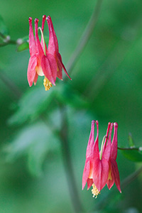A Columbine blooms at Ponca State Park northeastern Nebraska. - Nebraska Flower Photograph