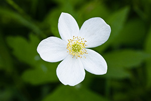 This white wild rose blooms in late spring in DeSoto National Wildlife Refuge. - Nebraska Photograph