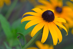 A Black-Eyed Susan blooms in late summer. - Nebraska Photograph