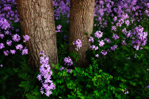Near the Platte River, I captured these purple Dames Rocket which contrast with the vibrant greens of the spring. - Nebraska Photograph