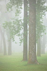 Trees in a dense fog on a spring morning at DeSoto National Wildlife Refuge. - Iowa Photograph