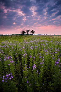 On a quiet evening on Boyer Chute National Wildlife Refuge, these purple flowers stand silently.  A pinkish sky is the last sign of the sun before the last light vanishes leaving the fields in darkness.  - Nebraska Photograph