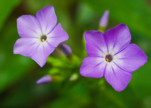 Two purple flowers bloom together on the forest floor at Schramm State Recreation Area in Eastern Nebraska. - Nebraska Photograph