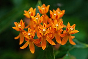 A butterfly milkweed blooms in late August at the OPPD Arboretum in Omaha, Nebraska. - Nebraska Photograph