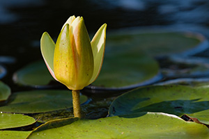 A single lily begins to close as the sun sets at the OPPD Arboretum in eastern Nebraska. - Nebraska Flower Photograph