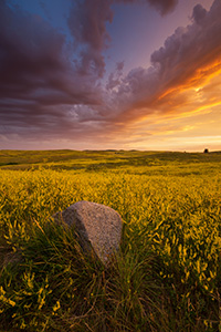 Clouds from a passing storm are illuminated by the brilliant warm hues of the rising sun above a field of wildflowers in Theodore Roosevelt National Park. - North Dakota Landscape Photograph