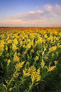 Goldenrods sway in the wind on a late summer day at Boyer Chute National Wildlife Refuge. - Nebraska Photograph