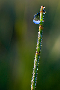 In Boone county, Nebraska, the air was cool and early morning dew clings to a small reed. - Nebraska Photograph