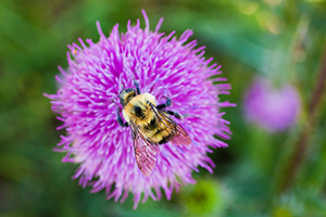A bumblebee quietly collects pollen for the hive from a purple thistle. - Nebraska Photograph