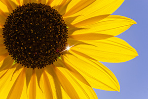 The sun shines brighty through a plains sunflower, illuminating the yellow against the vibrant blue sky. - Nebraska Photograph