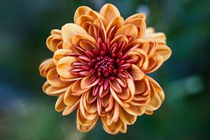 On a warm autumn day, a single fiery red and orange mum blooms in a garden at Arbor Day Lodge State Park in Nebraska City. - Nebraska Photograph