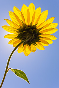 A plains sunflower growing toward the high mid-day sun. - Nebraska Photograph