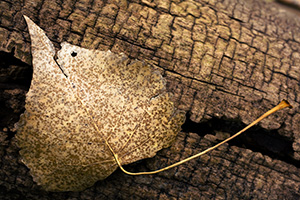 A common scene in autumn, a fallen leaf on an old log.  Taken at the OPPD Arboretum, Omaha, Nebraska. - Nebraska Photograph