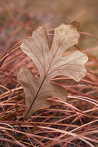 A fallen oak leaf lies in grass, both turned to warm hues in the late autumn. - Nebraska Photograph