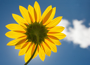 A plains sunflower turned toward the high mid-day sun. - Nebraska Photograph