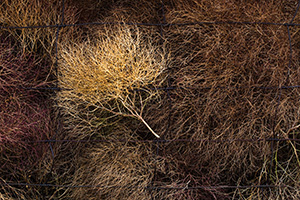 The strong winds caused the tumbleweeds to bunch up against a fence at Ft. Niobrara National Wildlife Refuge near Valentine, Nebraska. - Nebraska Photograph