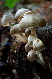 On the wet forest floor, a collection of mushrooms sprout from a log. - Nebraska Photograph