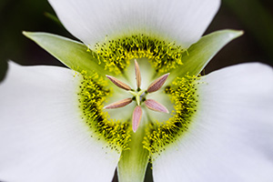 A single, delicate Mariposa Lily grows in the shade of some lodgepole pine trees in Jewel Cave National Park in South Dakota. - South Dakota Wildflower Photograph