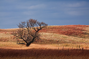 A single tree sits upon the prairie at Ft. Niobrara National Wildlife Refuge. - Nebraska Photograph