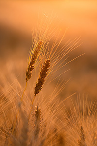 Wheat in a large field glows in the setting sun in eastern Nebraska. - Nebraska Nature Photograph