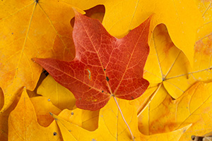 At Arbor Lodge State Park in Nebraska City, a red maple leaf lies prominantly on a bed of yellow leaves. - Nebraska Photograph
