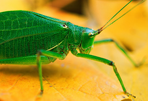 At Arbor Lodge State Park in Nebraska City, a katydid rests on auburn autumn maple leafs. - Nebraska Photograph