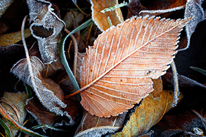 Fallen leaves and grass are encrusted with frost from the previous night. - Nebraska Photograph