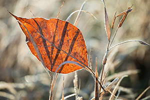 A single autumn leaf, frosted from the previous night, is caught in prairie grasses at Stagecoach State Recreation Area, Nebraska. - Nebraska Photograph