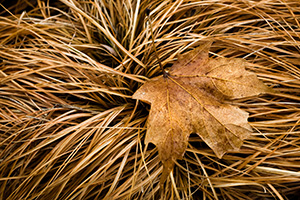 A lone leaf rests on a bed of grass yellowed from the winter. - Nebraska Photograph