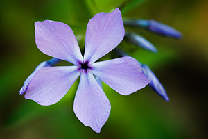 A phlox springs from the lush growth on the eastern hills of the forest at Fontenelle Forest in eastern Nebraska. - Nebraska Close-Up Photograph
