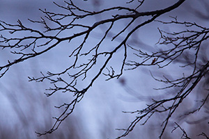 Branches devoid of leaves darkly contrast in the moody blue scene. - Iowa Photograph