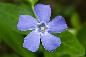This blue phlox blossoms in early spring at Schramm State Recreation Area. - Nebraska Nature Photograph