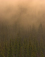 Fog descends on a pine forest in Glacier National Park, Montana. - Canada Photograph