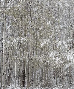 A soft blanket of snow clings to the trees in a forest in Kananaskis Country, Alberta. - Canada Photograph