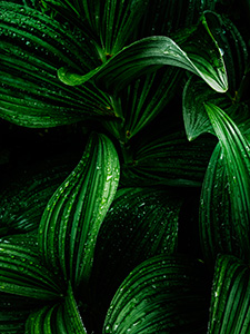 A verdant corn lily deep in the forest after a summer rain. - Canada Photograph