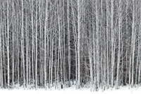 A stand of aspens stands among the snow along the road to Stevens Pass in the Wenatchee National Forest. - Pacific Photograph