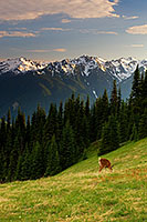 Deer graze in the shadow of the Olympic Mountain Range on Hurricane Ridge. - Pacific Photograph